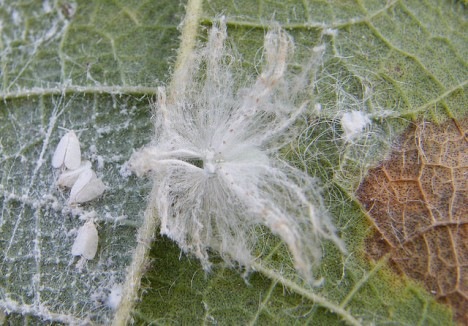 A Review of Whitefly